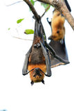 Lyie's flyingfox Royalty Free Stock Photography