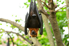 Lyies flyingfox Lizenzfreie Stockbilder