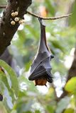Lyies flyingfox Lizenzfreies Stockbild