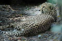 Lying adult cheetah looking away at dry rocky land Royalty Free Stock Photos