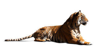 Lying adult tiger. Isolated  over white Royalty Free Stock Photos