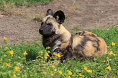 Lying african hunting dog Royalty Free Stock Photos