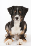 Lying Australian shepherd Stock Photo