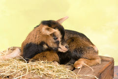 Lying baby dwarf goat Royalty Free Stock Photography