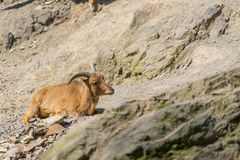 Lying baby goat on mountain. Young mountain goat. Mountain goat. Royalty Free Stock Photos