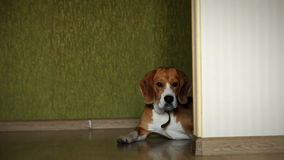 Lying beagle dog on the home laminate floor slider video shoot