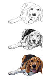 Lying beagle. The vector of lying beagle stock illustration