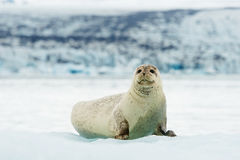 Lying Bearded seal on ice in arctic Stock Photos