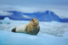 Lying Bearded seal on white ice with snow in arctic Svalbard, dark mountain in background Royalty Free Stock Images