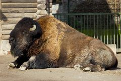 Lying Bison Royalty Free Stock Photos