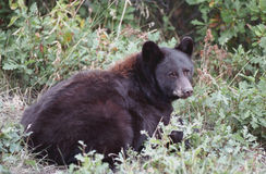 Lying Black Bear. Black bear lying in the brush and looking back at you Royalty Free Stock Photo