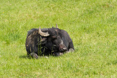 Lying black cow. Black cow lying on meadow stock photography