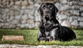 Lying black labrador in the garden. With closed eyes Royalty Free Stock Image
