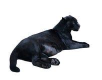 Lying black panthera. Isolated  over white Royalty Free Stock Images