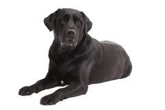 Lying Black Retriever Labrador Dog Royalty Free Stock Image