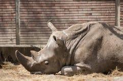Lying black rhino in zoo Royalty Free Stock Photography