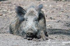 Lying boar Stock Photography