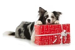 Border collie with christmas gift. Lying border collie isolated on white background has the paws on a christmas present stock images