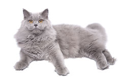 Lying british cat isolated royalty free stock images