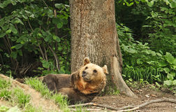 Lying brown bear. In the forest, Transylvania, Romania Stock Photography