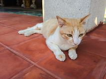 Lying brown cat. Selective focus of lying brown cat on pavement floor Royalty Free Stock Photography