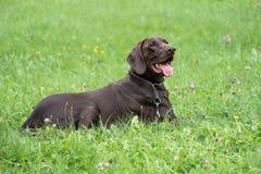 Lying brown Deutsche Dogge royalty free stock photos
