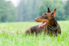 Lying brown doberman pinscher Stock Photography
