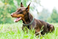 Lying brown doberman pinscher Stock Photos
