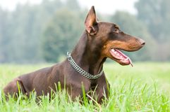 Lying brown doberman pinscher Royalty Free Stock Photos