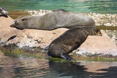 Lying Brown fur seal, Arctocephalus p. pusillus Stock Image