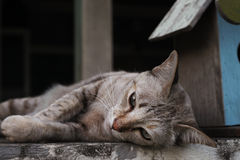 Lying brown pet cat with green eyes. Lying brown pet cat on top of wall Stock Image
