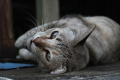 Lying brown pet cat. On top of wall Royalty Free Stock Image