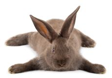 Lying brown rabbit Stock Image