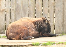 Lying buffalo. Brown horny buffalo lying on the graund with planks behind Stock Photos