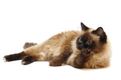 Lying Burman cat Stock Image
