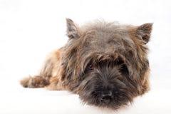 Lying cairn terrier portrait. Stock Photo