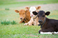 Lying calves. Three bull calves lying on green grass royalty free stock photos