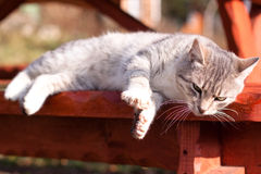 Lying cat royalty free stock image