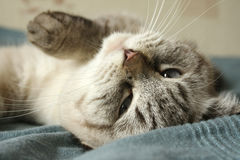 Lying Cat. Lying on the Blue Bedspread Cat Royalty Free Stock Images
