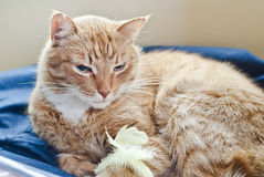 Lying cat ang chicken feathers Stock Photo
