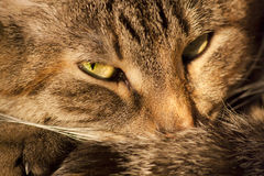 Lying cat background Stock Photography