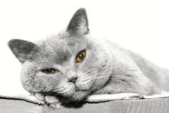 Lying cat, gaze, British blue Royalty Free Stock Photo