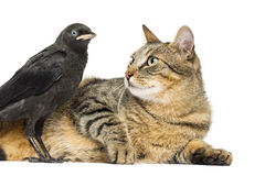 Lying cat looking at a Western Jackdaw, isolated Stock Images