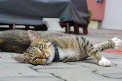 Lying cat model. Cat model with crossbred front legs royalty free stock photo