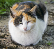 Lying cat's look. Royalty Free Stock Images