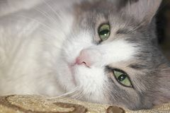 Lying cat Stock Images