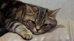Lying cat on the sofa stock video