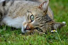 Lying cat. Lying and watching cat in green grass Stock Photos