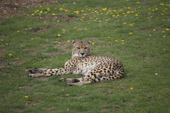 Lying Cheetah Royalty Free Stock Photo