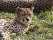 Lying cheetah closeup portrait. Cheetah lying on the grass closeup portrait Stock Image